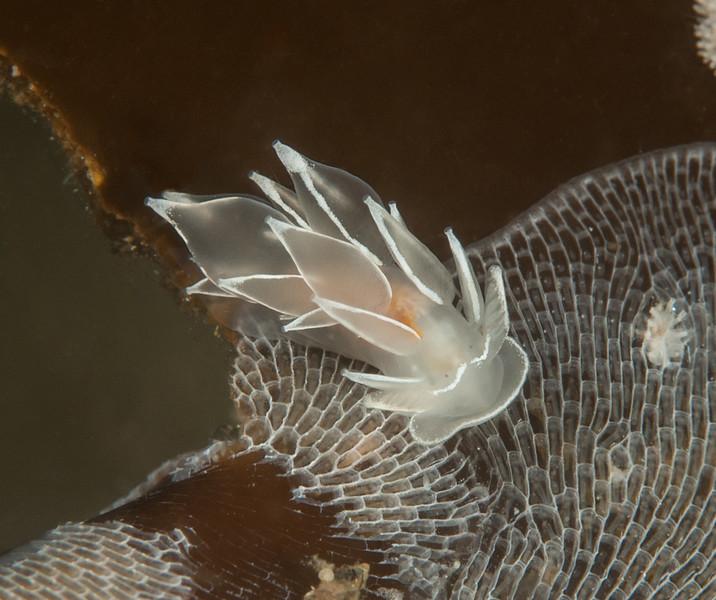 Abundant, very small Dirona albolineata