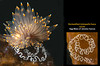 Janolus fuscus with egg mass <br /> God's Pocket Bay, Hurst Island, British Columbia