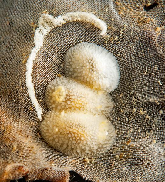 Knoutsodonta jannae<br /> Hoodie Nudi Bay, Browning Pass, British Columbia