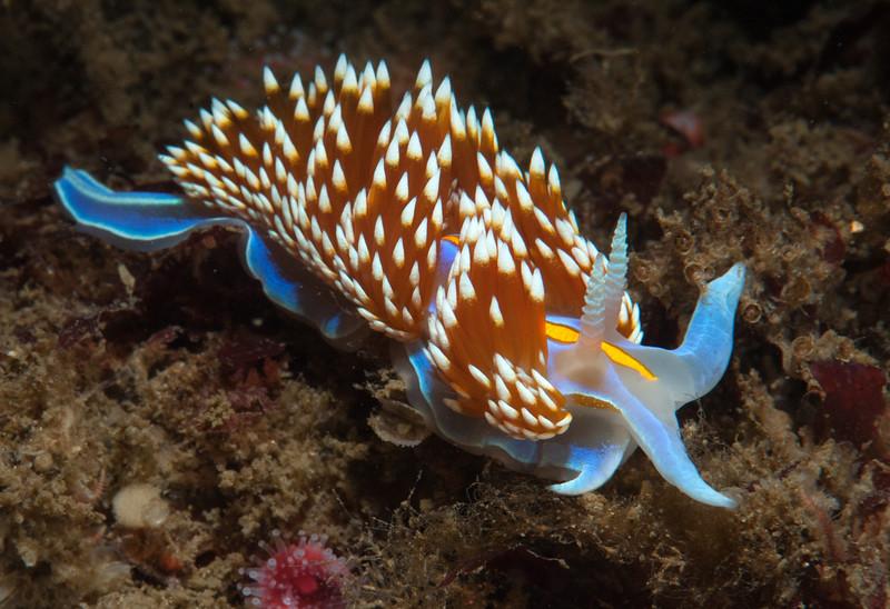 Hermissenda opalescens<br /> Halfway Reef, Palos Verdes, California