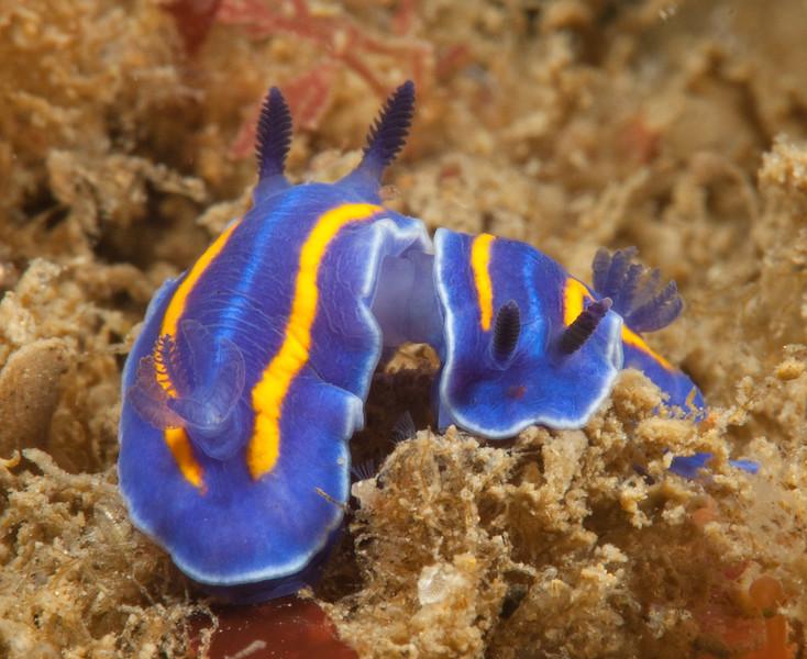 Felimare porterae mating<br /> Little Reef, (Golden Cove), Palos Verdes, California