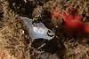 Polycera tricolor<br /> Biodome, Palos Verdes, Los Angeles County, California