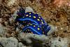 Felimare californiensis, mating on the sponge, Dysidea amblia<br /> WW2 Navy LCM3 (Landing Craft Mechanized), Torrance Beach, Los Angeles County, California