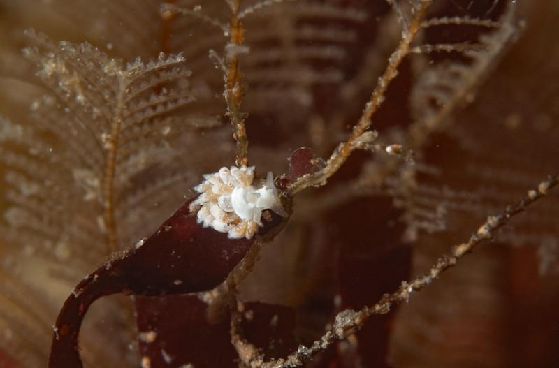 Trinchesia albocrusta<br /> Torrance Reef, Los Angeles County, California