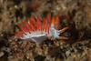 Tiny Orienthella trilineata, formerly Flabellina trilineata<br /> Biodome (Reef), Palos Verdes, California