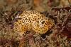 Janolus pardus<br /> Biodome (Reef), Palos Verdes, California