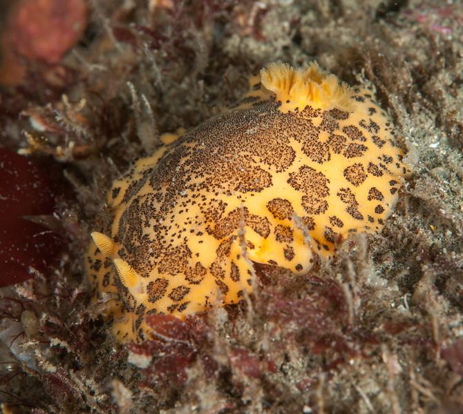 Peltodoris mullineri<br /> Golf Ball Reef, Palos Verdes, California