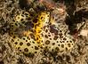 Jorunna pardus mating<br /> Kevin's Reef, Palos Verdes, California