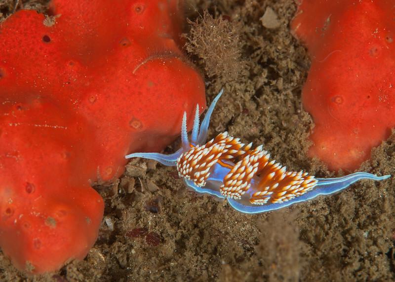 Hermissenda opalescens and red sponge<br /> Halfway Reef, Palos Verdes, California