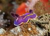Felimida macfarlandi <br /> Kevin's Reef, Palos Verdes, California