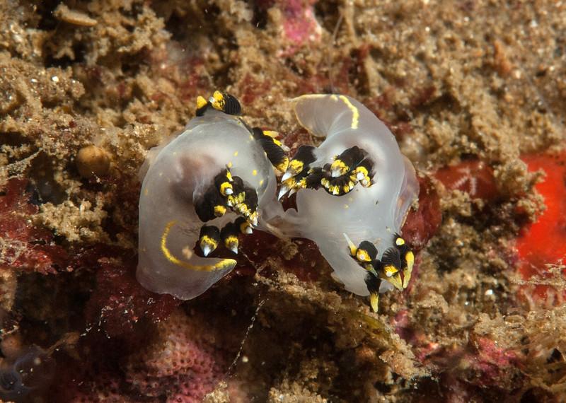 Polycera tricolor mating<br /> Halfway Reef, Palos Verdes, California