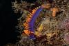 Flabellinopsis iodinea, formerly Flabellina iodinea<br /> Halfway Reef, Palos Verdes, Los Angeles County, California