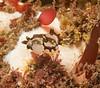 Polycera tricolor juvenile