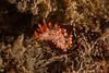 Limacia mcdonaldi<br /> Halfway Reef, Palos Verdes, Los Angeles County, California