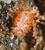 Limacia mcdonaldi<br /> Halfway Reef, Palos Verdes, California