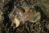 Navanax inermis mating and laying eggs<br /> King Harbor, Redondo Beach, Los Angeles County, California