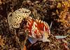 Hermissenda opalescens and egg mass<br /> Kevin's Reef, Palos Verdes, California