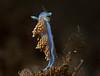 Hermissenda opalescens<br /> Biodome, Palos Verdes, Los Angeles County, California
