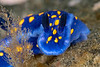 Felimare californiensis<br /> Golf Ball Reef, Palos Verdes, California