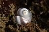 Rictaxis punctulatus<br /> 5-mile outfall pipe, El Segundo, Los Angeles County, California