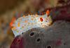 Triopha catalinae<br /> Halfway Reef, Palos Verdes, California