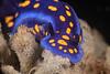Felimare californiensis feeding on the sponge, Dysidea amblia<br /> WW2 Navy LCM3 (Landing Craft Mechanized), Torrance Beach, Los Angeles County, California
