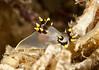 Polycera tricolor