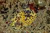 Janolus pardus mating<br /> Golf Ball Reef, Palos Verdes, California