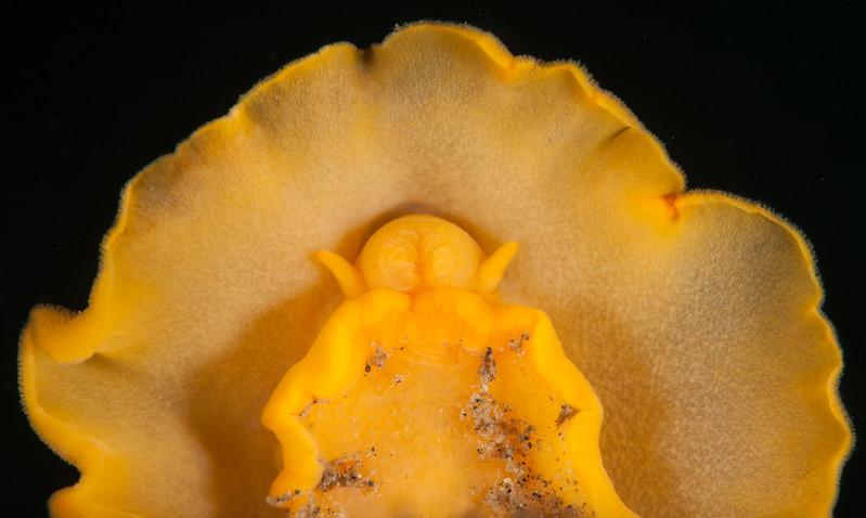 Baptodoris mimetica oral tentacles