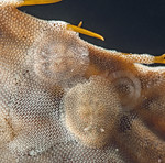 Corambe pacifica and eggs<br /> Golf Ball Reef, Palos Verdes, California