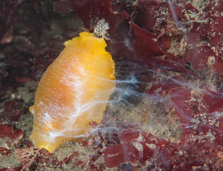 Doriopsilla albopunctata releasing defensive acid compounds from mantle glands