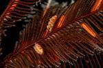 Doto columbiana<br /> Torrance Reef, Torrance, Los Angeles County, California