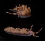 Austraeolis stearnsi <br /> Hawthorne Reef South, Palos Verdes, Los Angeles County, California