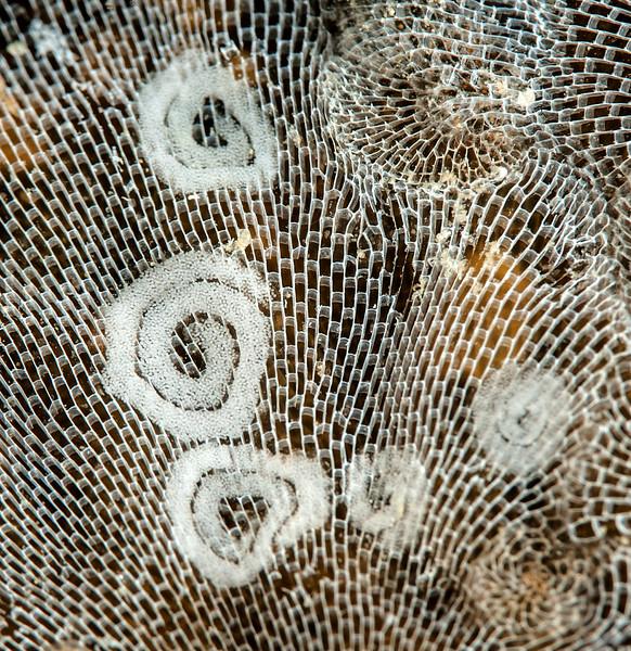 Corambe pacifica egg masses<br /> Golf Ball Reef, Palos Verdes, California