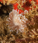 Cuthona divae laying eggs<br /> Kevin's Reef, Palos Verdes, California