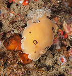 Diaulula sandiegensis on sponge