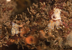 Ancula gibbosa mating pairs