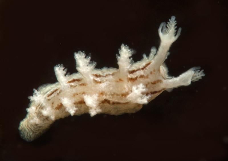 Dendronotus subramosus