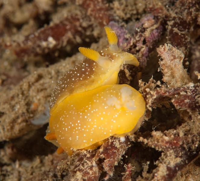 Doriopsilla fulva mating<br /> White Point Pipe, San Pedro California