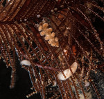 Doto columbiana with eggs on ostrich-plume hydroid, Aglaophenia struthionides