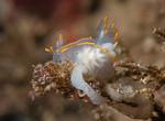 Ancula gibbosa laying eggs<br /> Halfway Reef, Palos Verdes, California