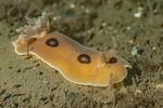 Diaulula sandiegensis<br /> King Harbor, Redondo Beach, Los Angeles County, California