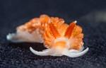 Anteaeolidiella oliviae<br /> Barge, Redondo Beach, Los Angeles County, California