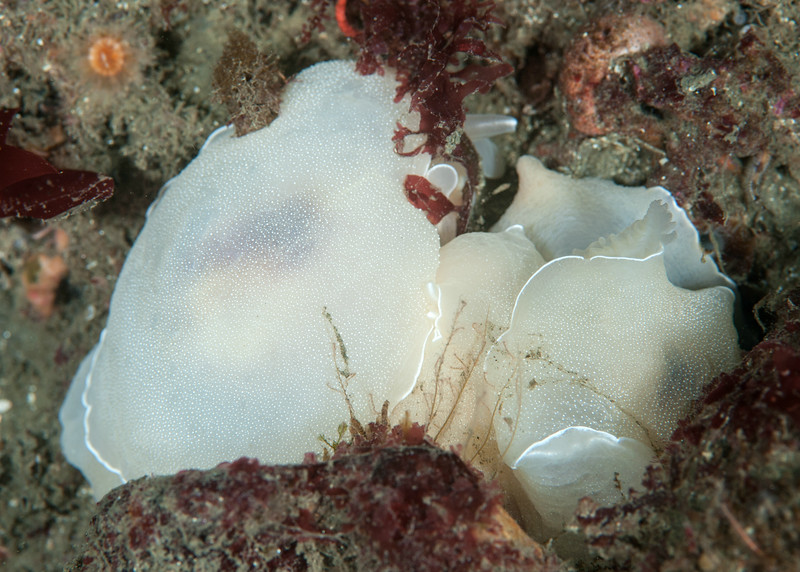 Berthella californica mating<br /> Golf Ball Reef, Palos Verdes, California