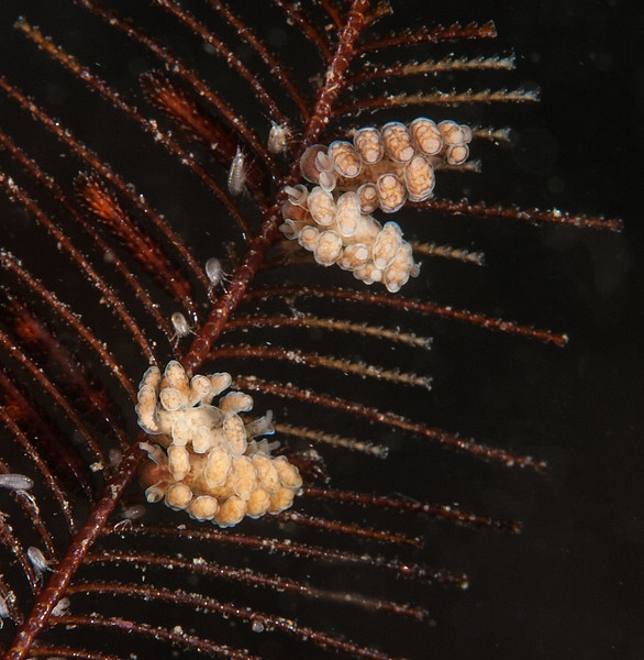 Doto columbiana on ostrich-plume hydroid, Aglaophenia struthionides or A. latirostris