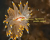 Janolus fuscus with the parasitic copepod, Ismaila belciki<br /> Parasite ID thanks to Greg Jensen<br /> <br /> Hoodie Nudi Bay, Nigei Island, British Columbia<br /> Janolus fuscus