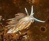 Hermissenda crassicornis