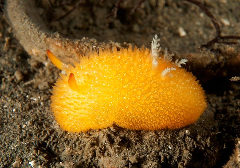 Acanthodoris lutea