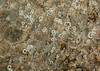 Corambe steinbergae