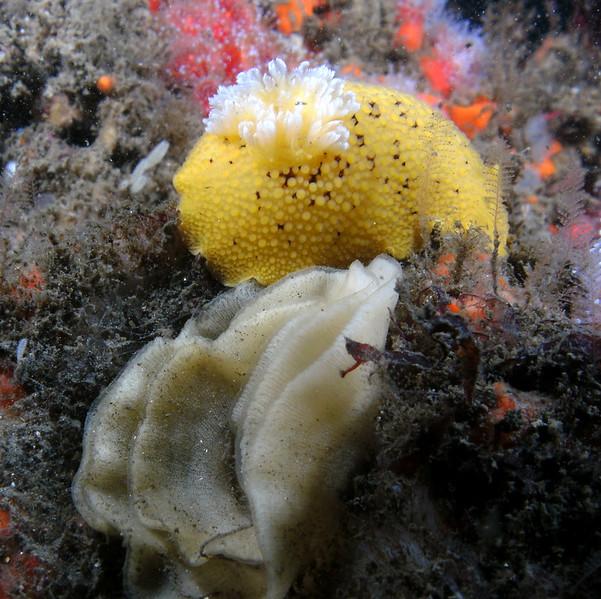 Peltodoris nobilis
